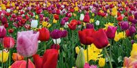 The Tulip mania